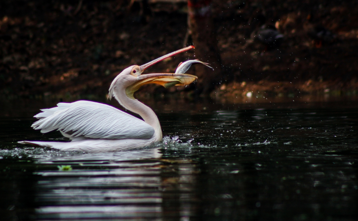 Pelican catch a fish