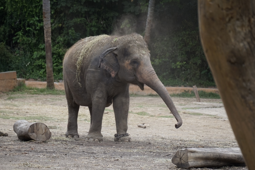 Elephant taking dust bath