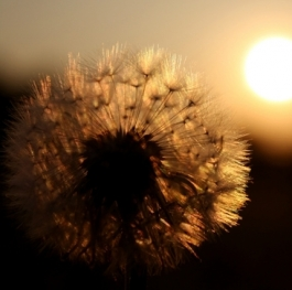 The Big Life And Smal Dandelion