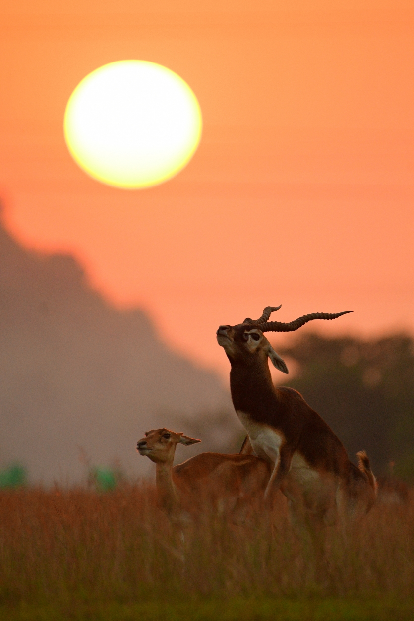Blackbuck Matting Under Sunset