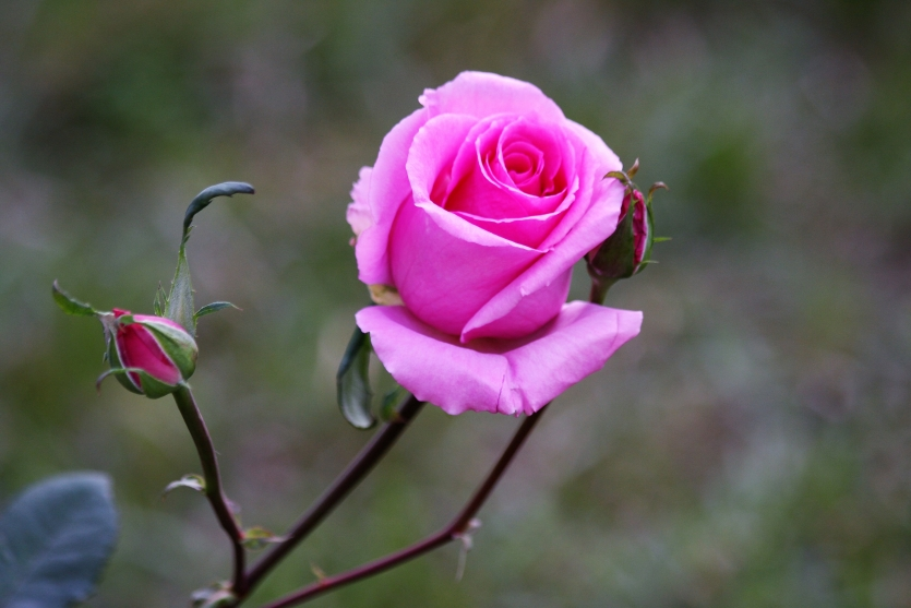 Rose is the Symbol of Love