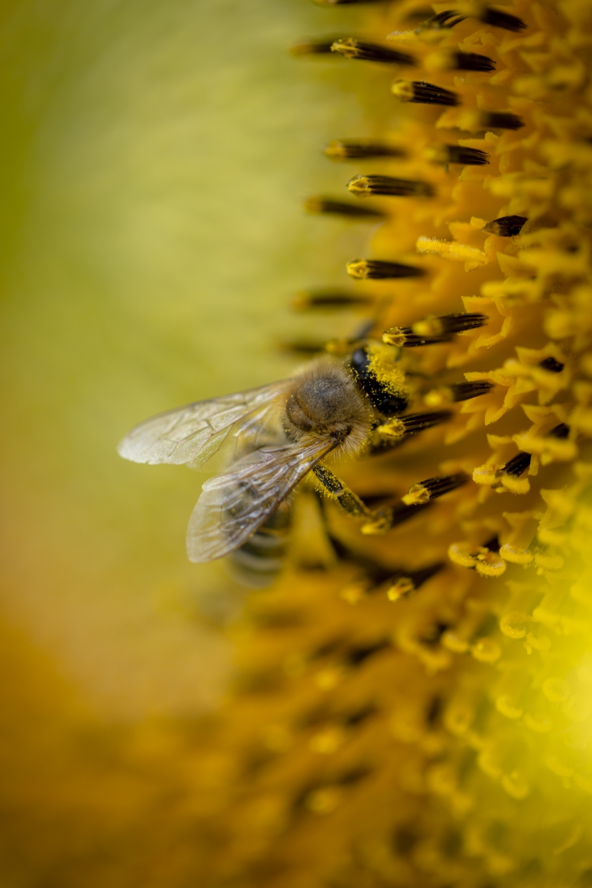 Bee and the sunflower