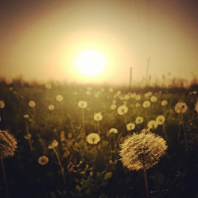 Dandelions in the sunset