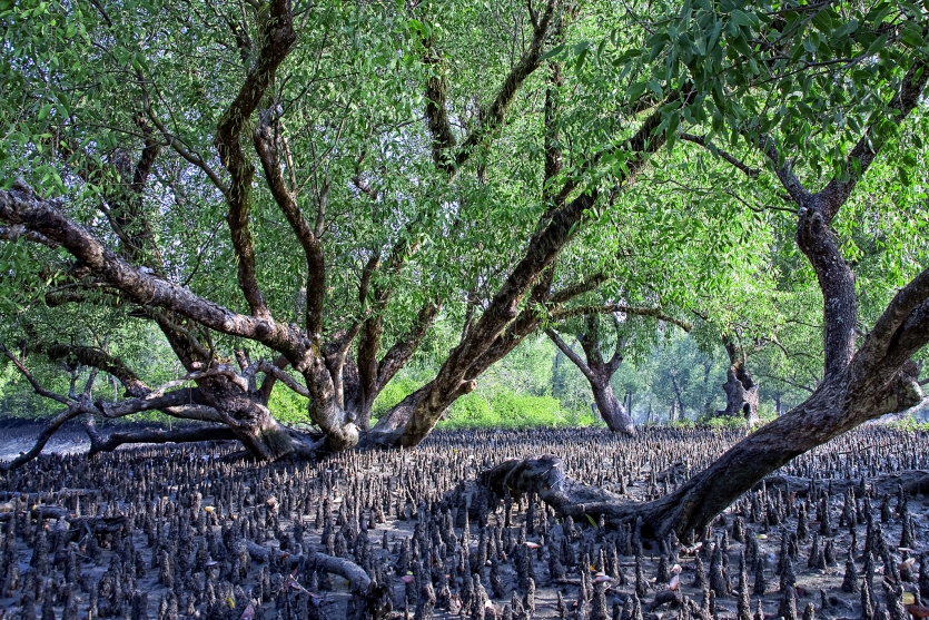 The largest Mangrove Forest Sundarbans