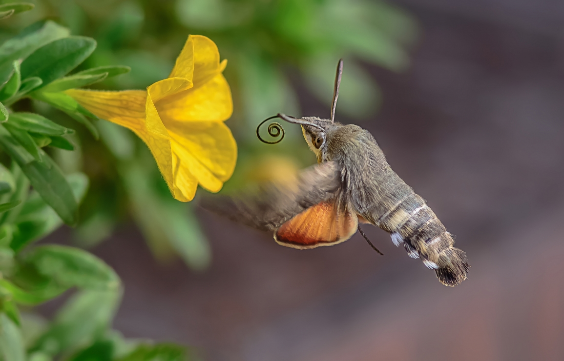 A beautiful hummingbird hawk-moth (Macroglossum stellatarum)