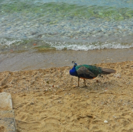 Peacock on a beach