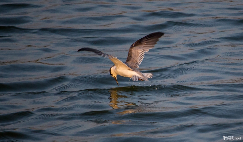 The hunt of whiskered tern