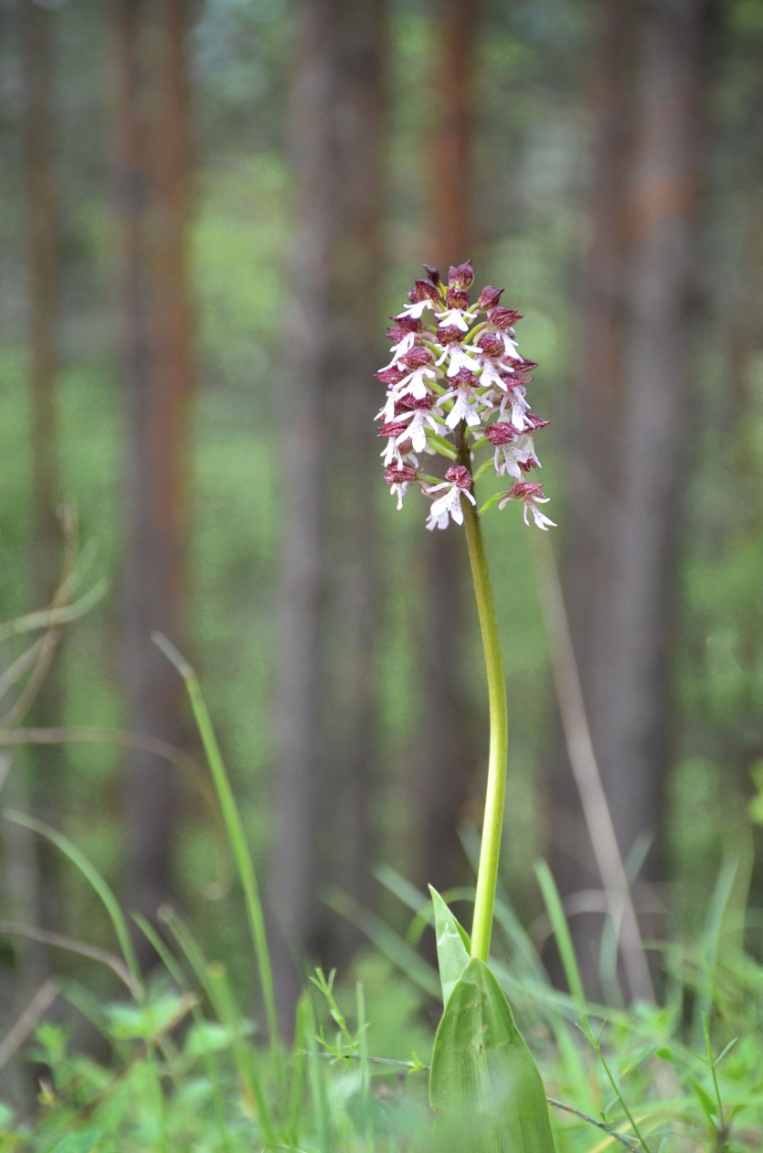 Orchis purpurea in Rhodopi mountains