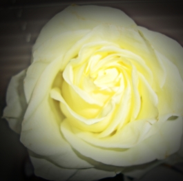 The Rose of Friendship
