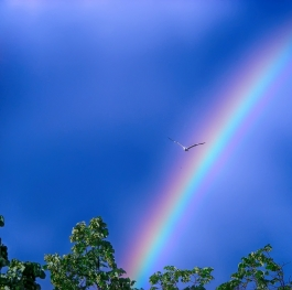 The herring-gull ,who flew under the rainbow