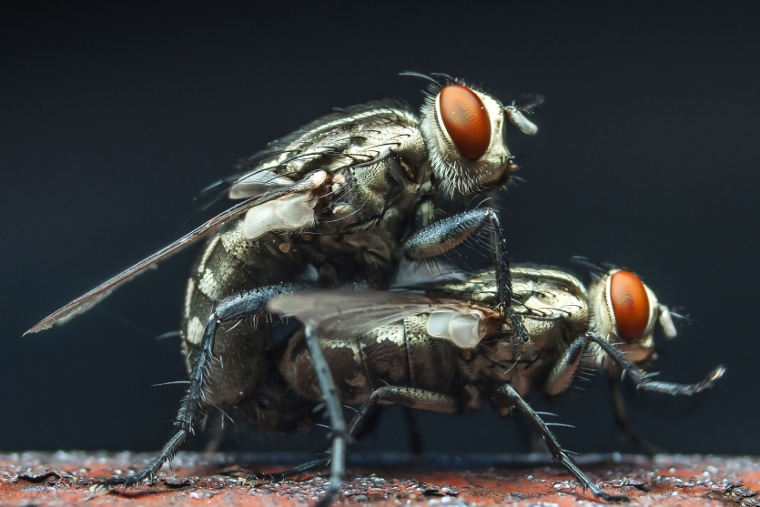 The fly are mating