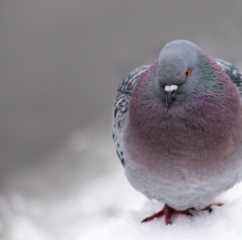 Pigeon trying to get warm