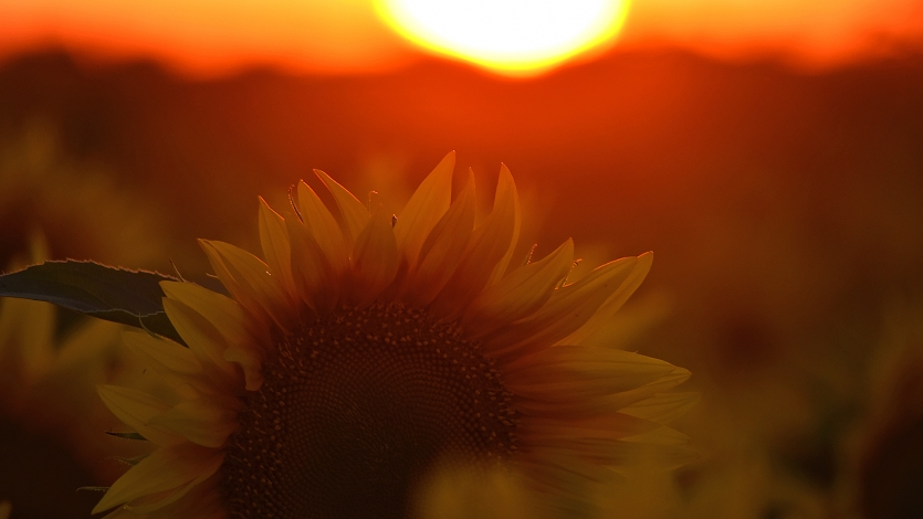 Sunflower in the sunset