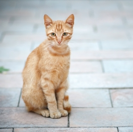 Reddish Cat
