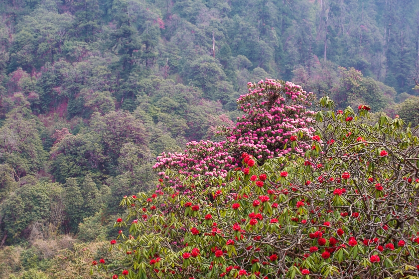 Rhododendrons, March in Nepal
