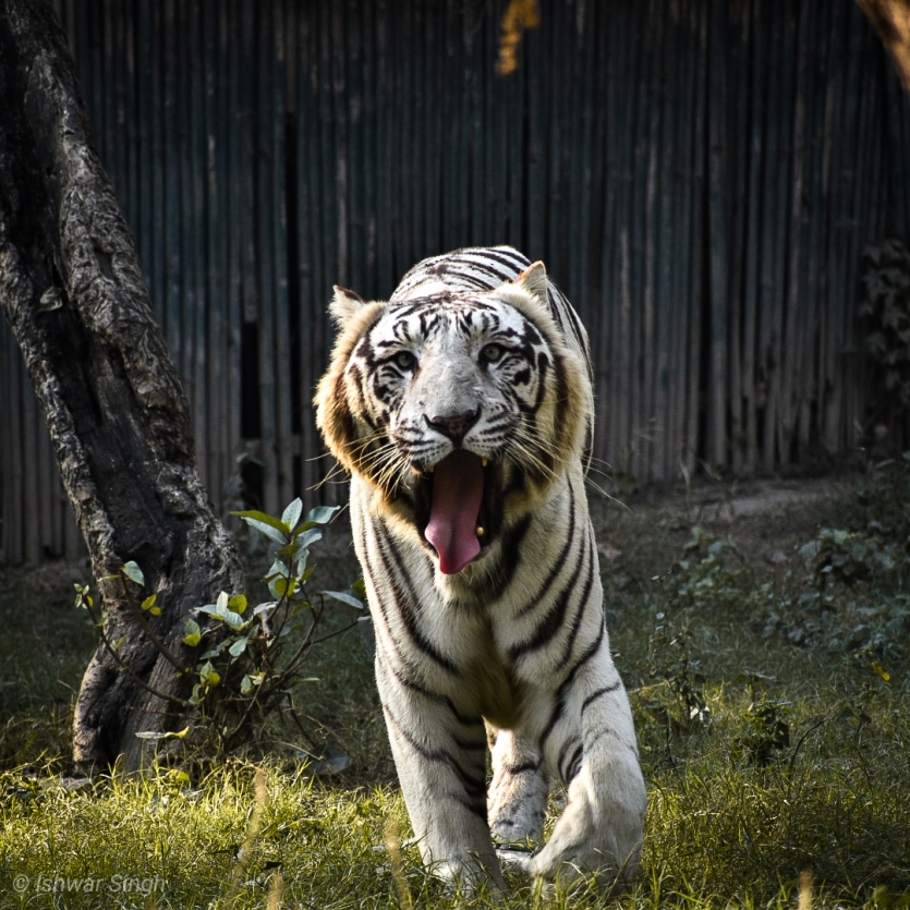 Beautiful creature of nature. (WHITE TIGER)