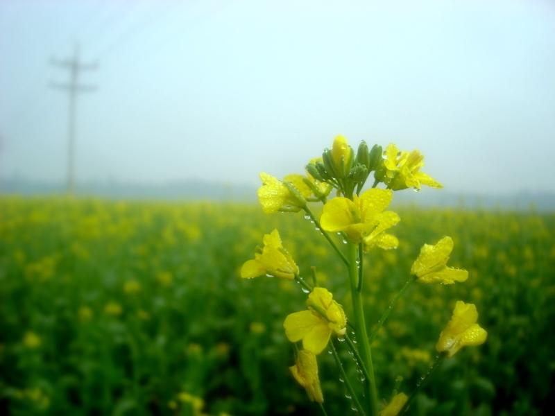 Mustard flower with dew drops
