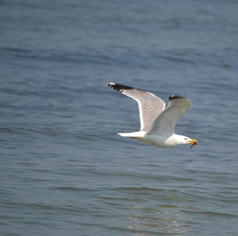 Seagull surprise with a fish