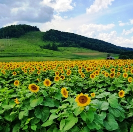 Sunflower field in McHenry Md.