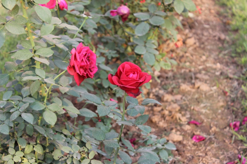 Beauty of Rose