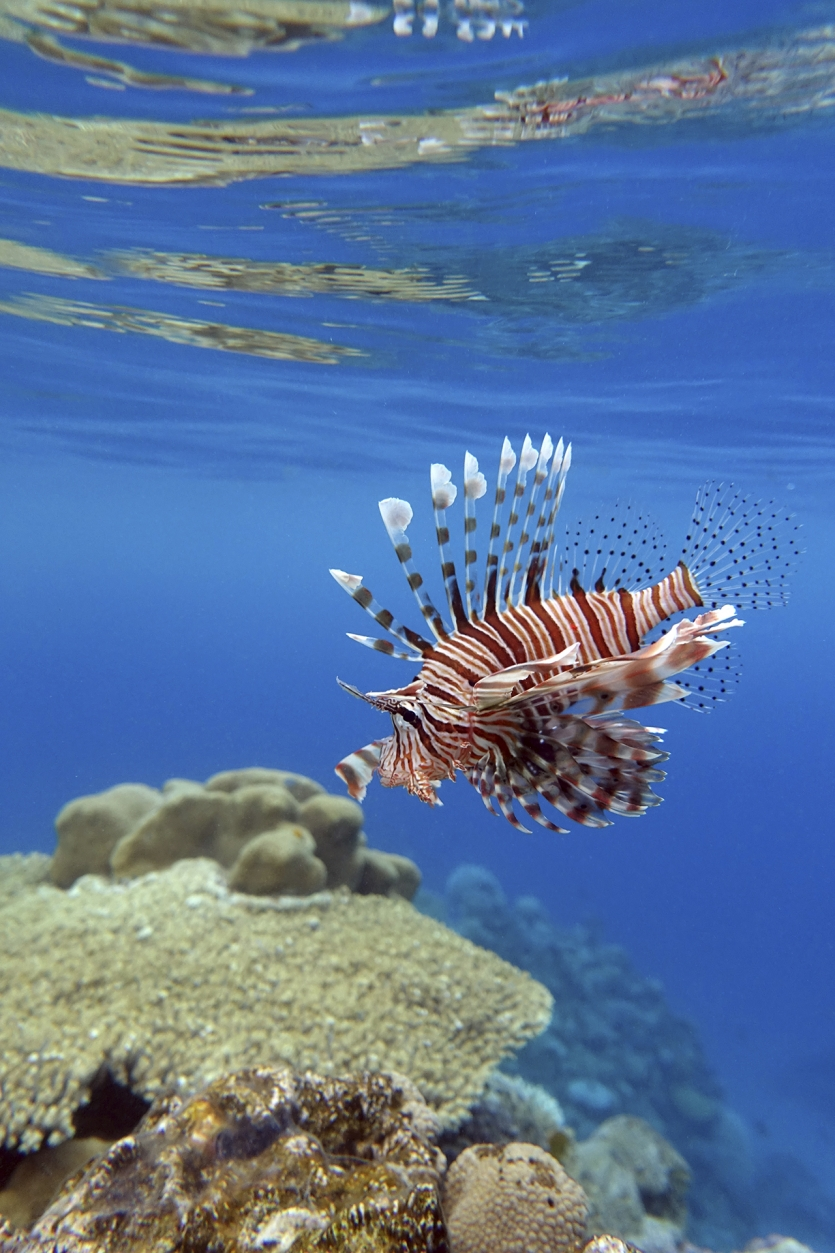 A lionfish in clear water