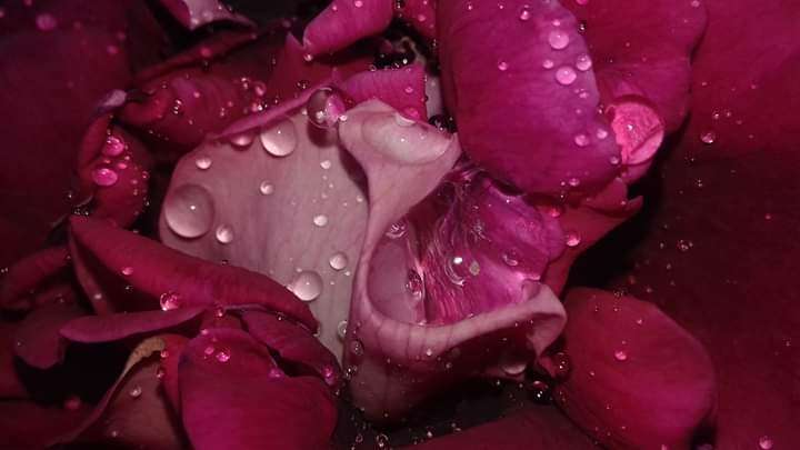 Drops of pink tenderness