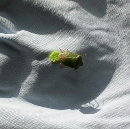 green shield bug to its shadow