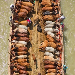 Cows on boat