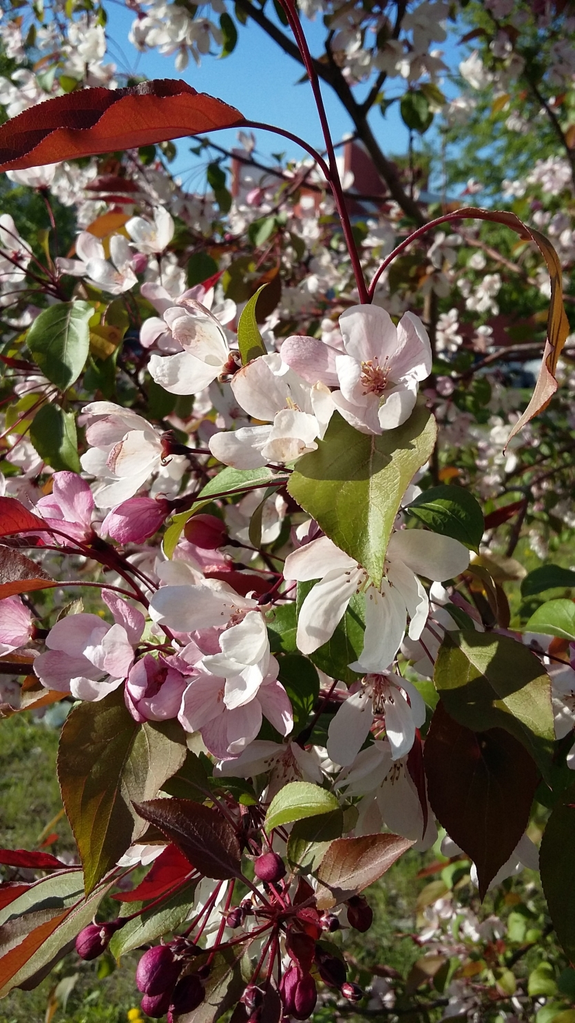 Flowers of wild Apple trees in the rays of the sun