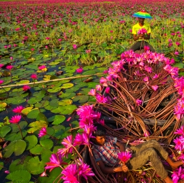 Boat of waterlilies
