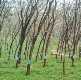 The Green Threat -Rubber wood plantations trigger the deforestation.