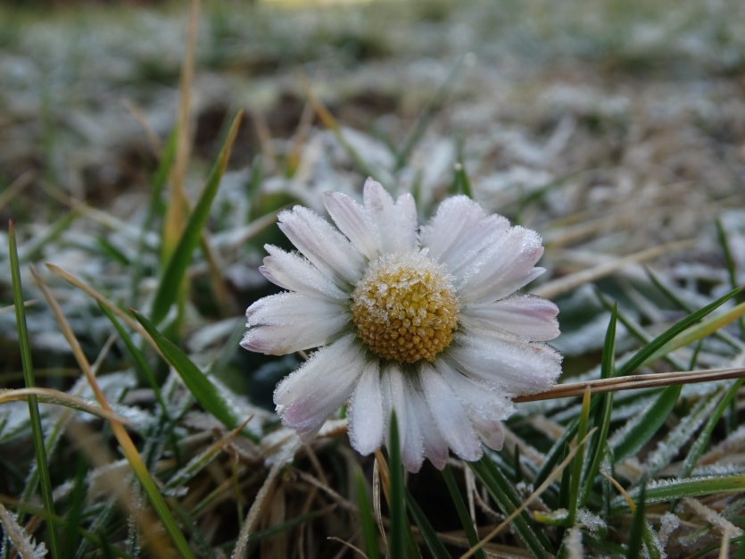 Frozen daisy in morning grass.