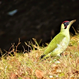 European green woodpecker (Picus viridis) searching for food