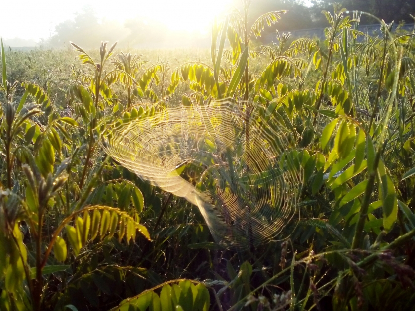 Spider's web in the morning sunrays