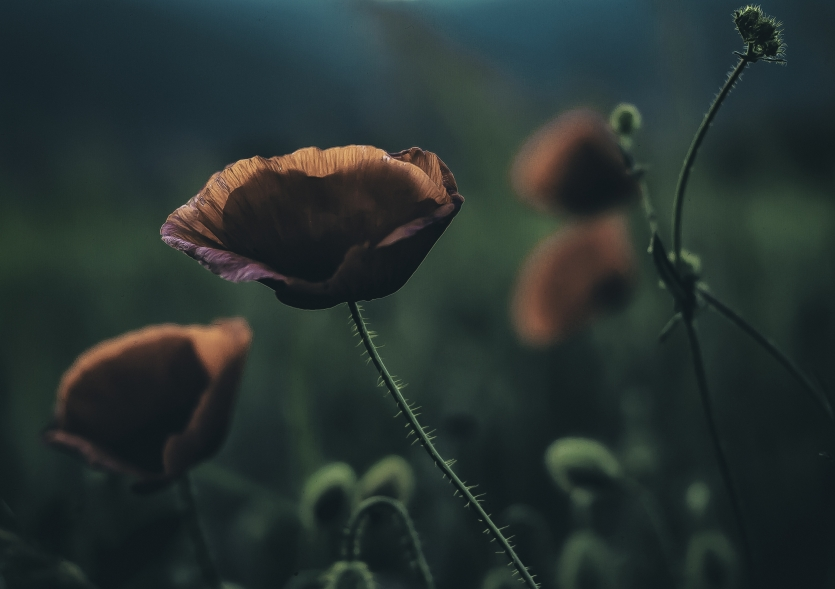 Red Poppy flower grows in the quietness