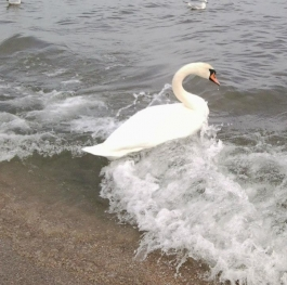 and the ugly duckling turned into a beautiful swan..