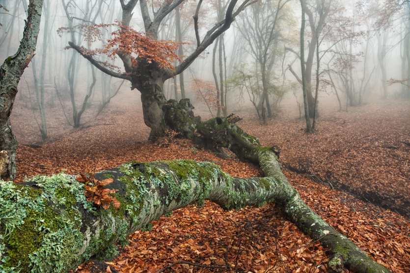 Beeches in the fog