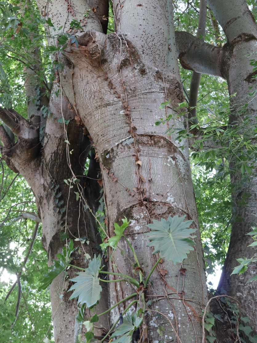 Cottion Tree (Bombax ceiba)