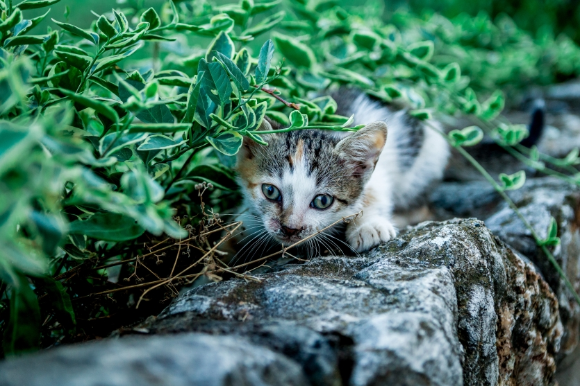 Little kitten playing in the bushes