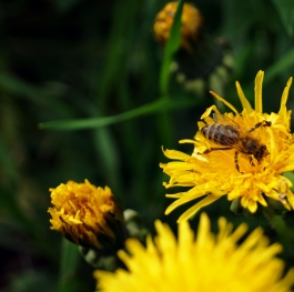 Dandelion and a Honey bee