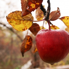 Red apple in autumn dew