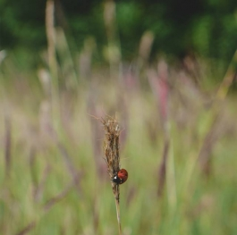 Ladybug in the field