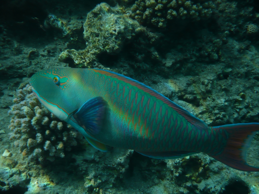 Beautiful Parrotfish