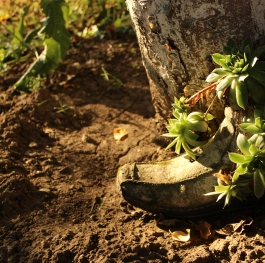 Nature growing through an old shoe