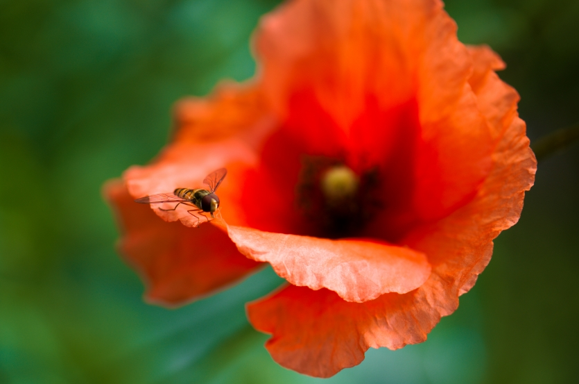 flowers  beauti  summer  bee  poppy
