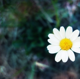 The beauty of chamomile
