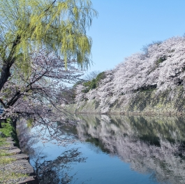 Spring in Hikone...