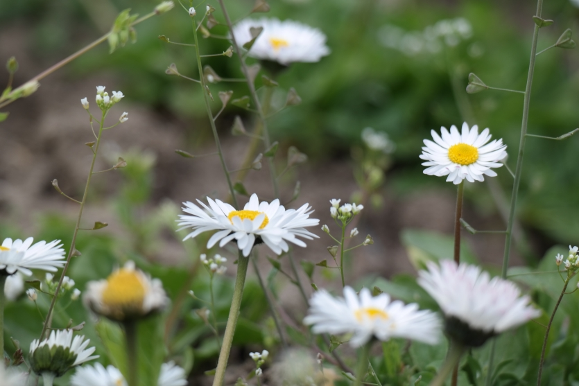 some daisies