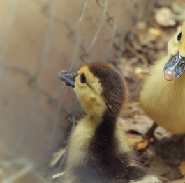Sweet duckling poses in the lens