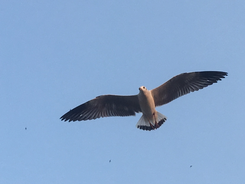 Fly of Seagull